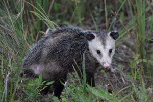 tampa opossum