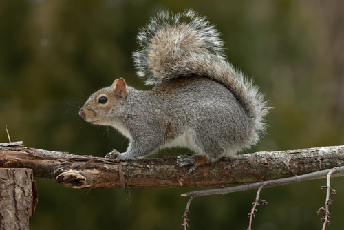 Tampa - Squirrels
