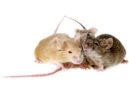 Tampa Mice