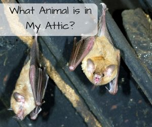 How To Know What Kind Of Animal Is In The Attic Critter