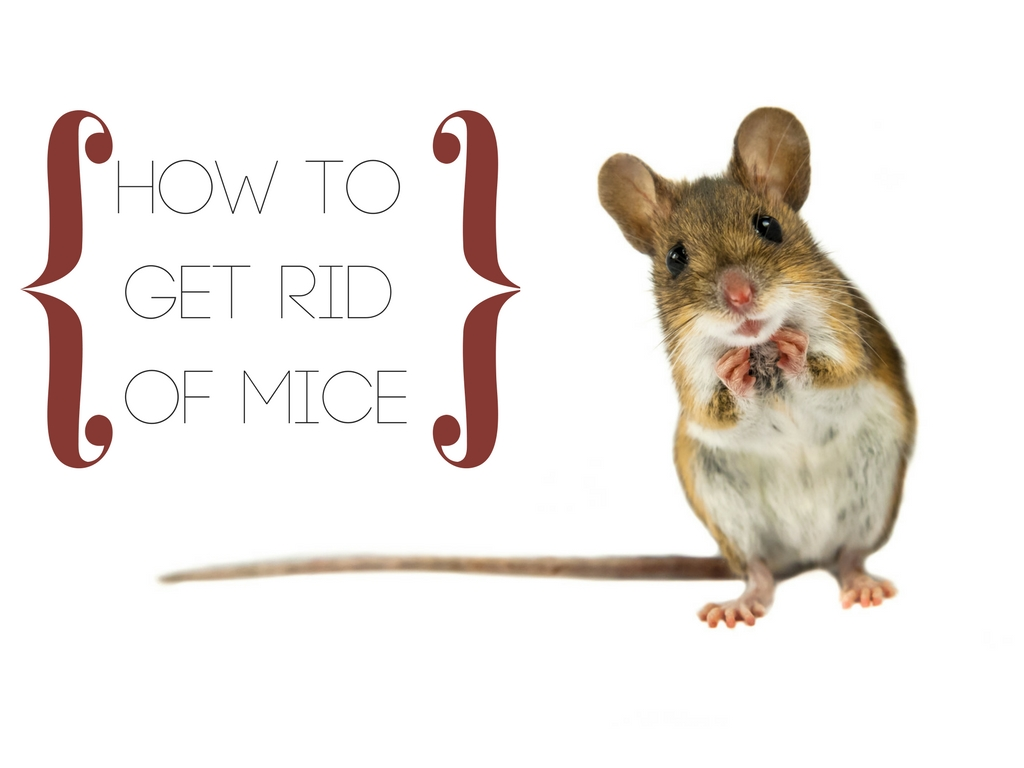 how to get rid of mice critter control tampa. Black Bedroom Furniture Sets. Home Design Ideas