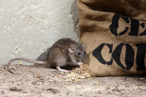 Tampa Rat Removal