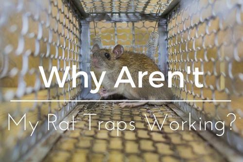 Tampa Rat Traps