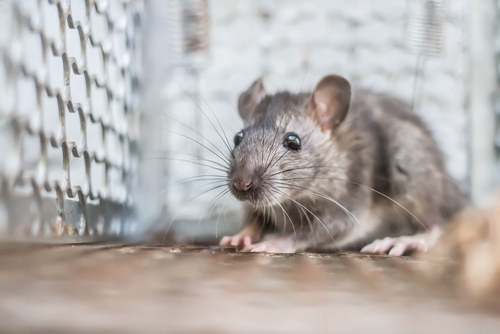 Rat Removal Clearwater Beach