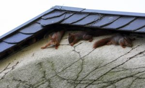 How Do Squirrels Get in My Attic
