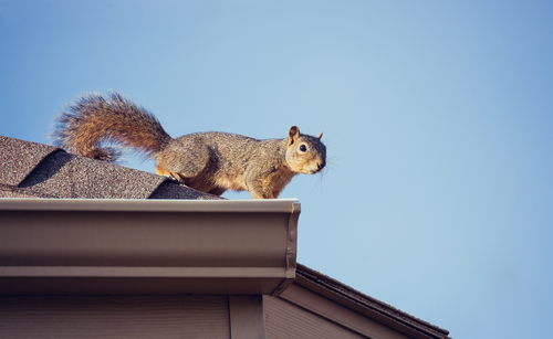 Squirrell on Roof