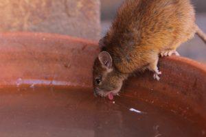 Tampa Rat