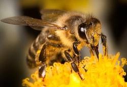 Honeybee on a flower.