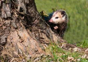 How Can I Tell If An Opossum Is Sick Critter Control Tampa