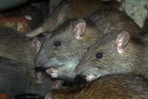 Signs You Have a Rodent in Your Home