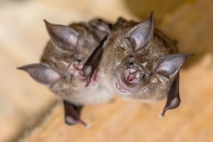 How Bats Get In Homes