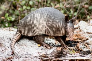 Are Armadillos Dangerous?
