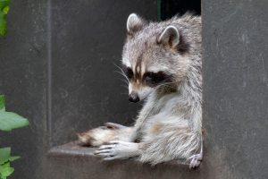 Everything You Need to Know About Raccoon Hibernation