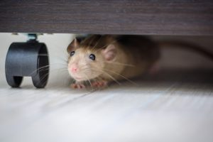 Difficulties of Rodent Trapping in Apartments