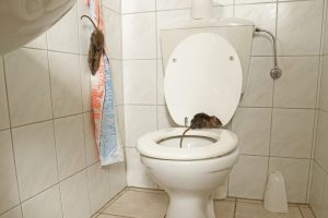 How Can Rats Come up Your Toilet?