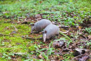 Do Armadillos Live in Cities?