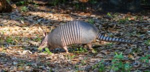 How to Trap Armadillos in Davenport