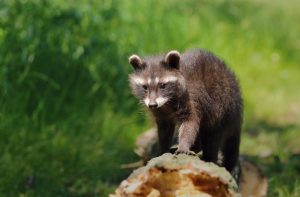 5 Ways to Keep Raccoons out of Your Apartment Building