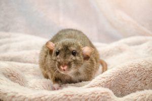 How to Fix Insulation Damaged from Rats