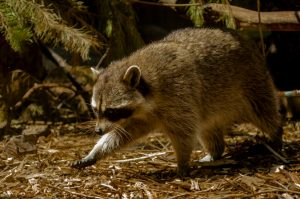 3 Signs Your Office Building Needs a Raccoon Exterminator
