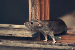How to Remove the Smell of a Rat Infestation in Your Home