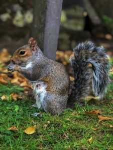 Why Are Squirrels Attracted to the Attic?