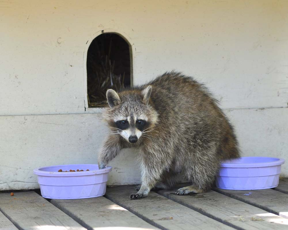 When Should I Call a Raccoon Exterminator?