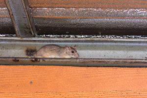 rat control tampa