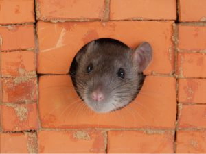 How Do Rats Get in My Walls?